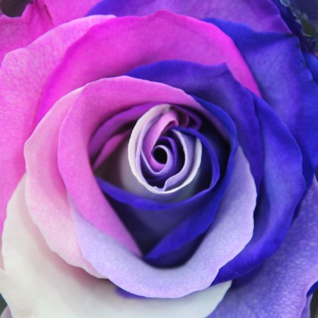 Ecuador rozen Bloemenland Rotterdam